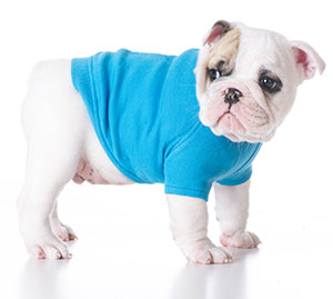 cute puppy bulldog puppy